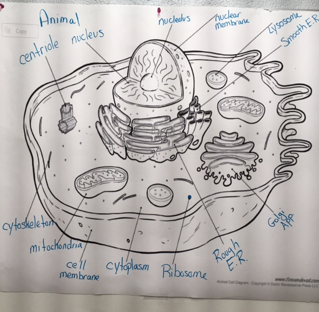 Animal cell diagram labeled gchsbiology animal cell diagram labeled ccuart Image collections